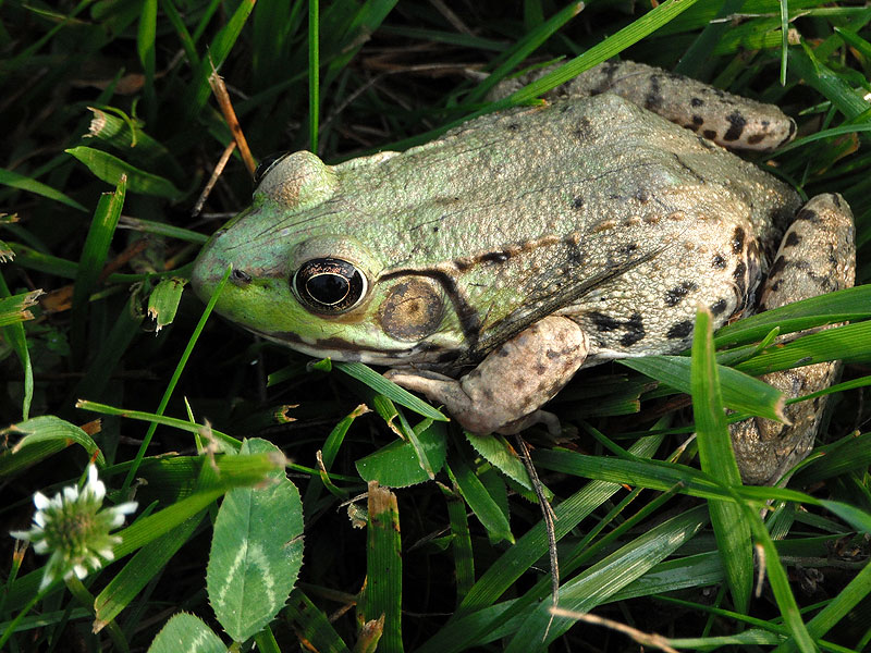 Green frog <i>(Rana clamitans)</i><br>White Clay Creek State Park, May 2012