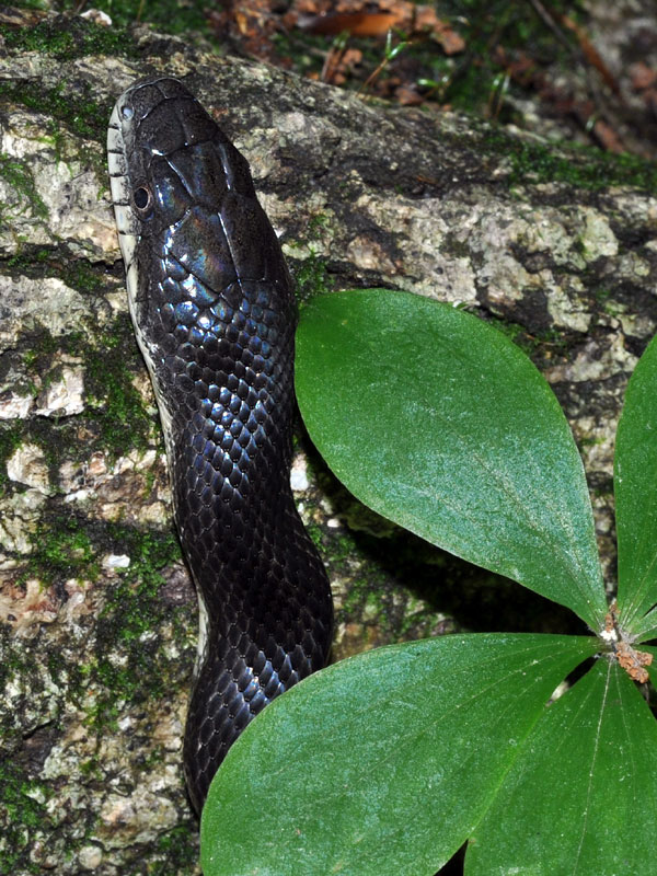 Black rat snake <i>(Elaphe obsoleta)</i><br>White Clay Creek State Park, May 2012