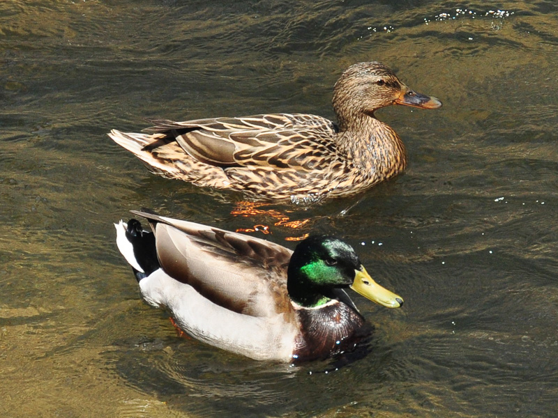 Mallards<br>White Clay Creek Preserve (PA), May 2014