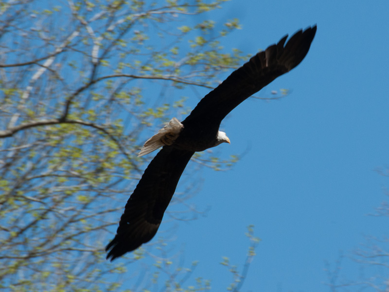 Bald eagle<br>White Clay Creek Preserve (PA), May 2014