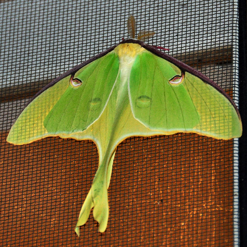 Luna moth<br>May 2014