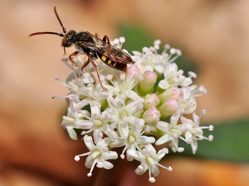 Wasp on <a href=plant.php?id=1382><i>Panax trifolius</i></a><br>April 2015