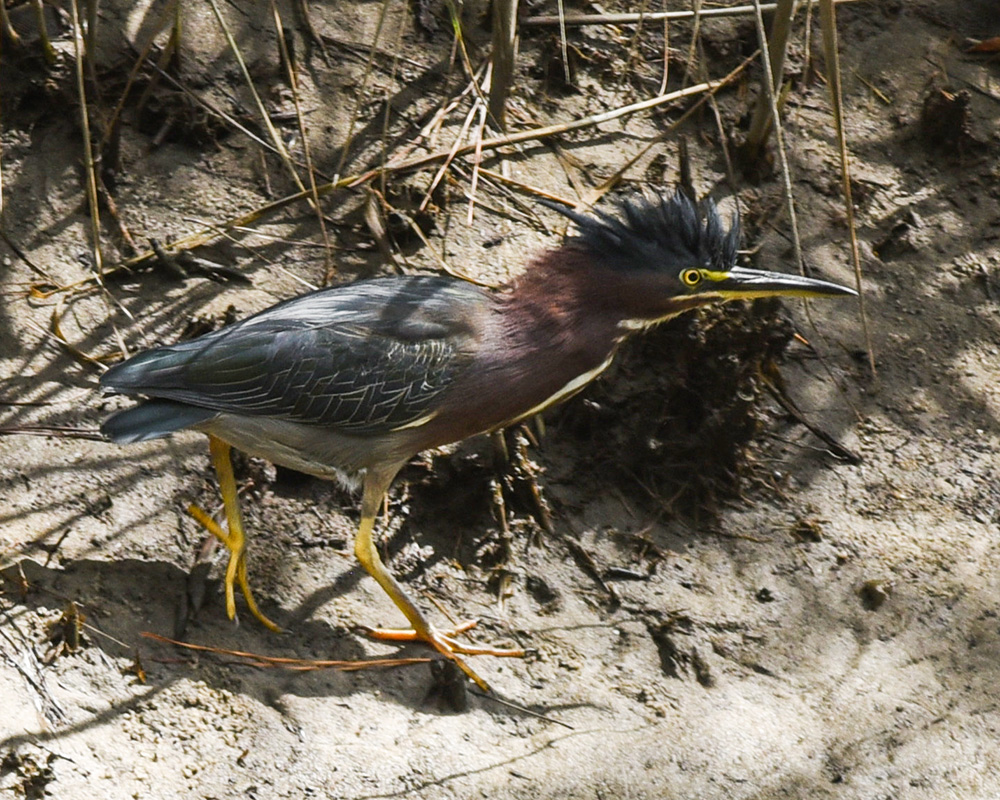 Green heron<br>Cape Henlopen State Park, August 2018