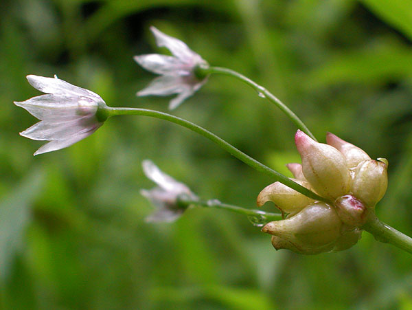 Allium Canadense Allium canadense var
