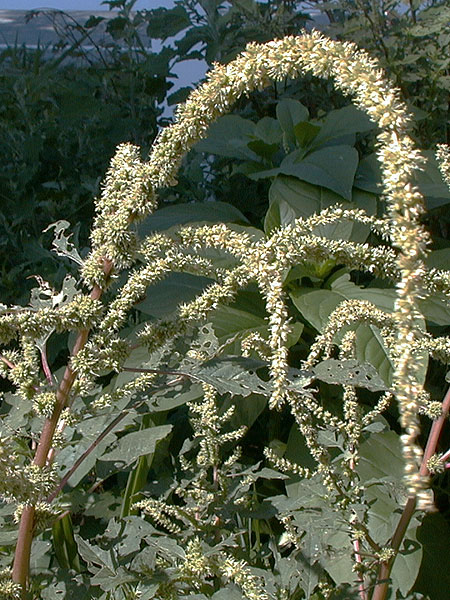 Spiny Amaranth