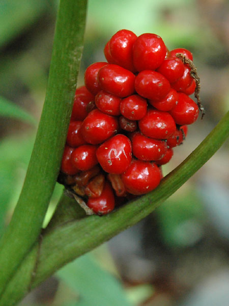 Swamp Jack-in-the-pulpit