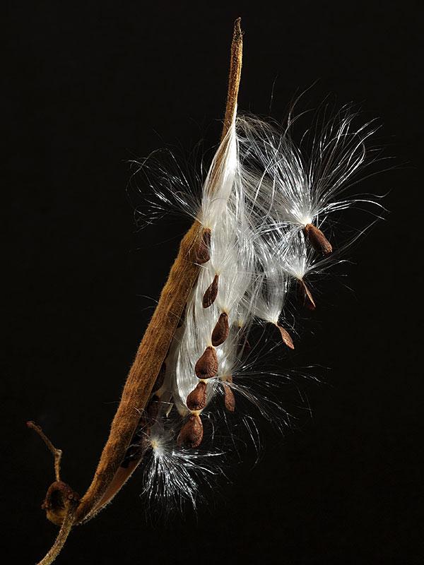 Asclepias tuberosa var. tuberosa