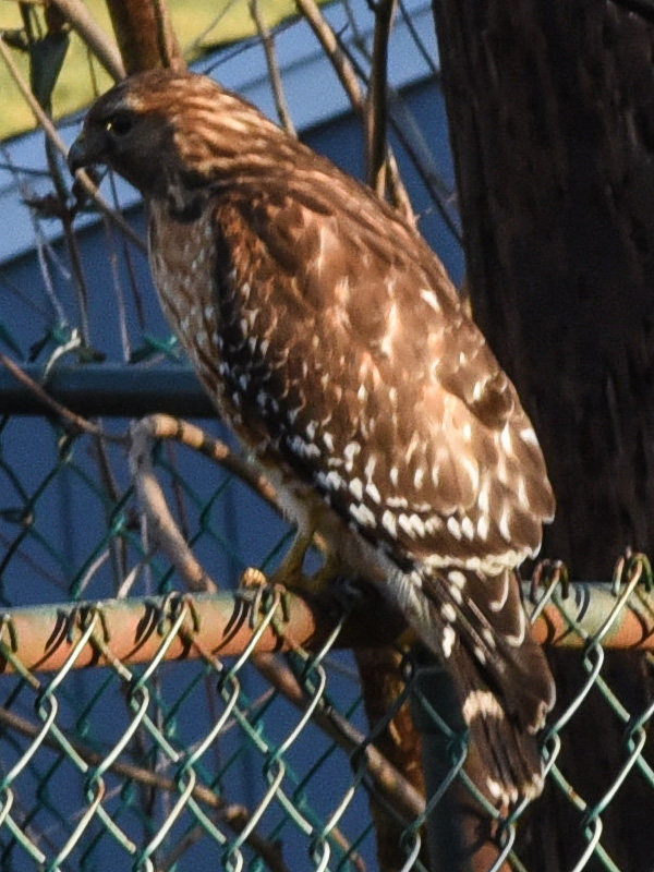 Red shouldered hawk <i>(Buteo lineatus)</i><br>March 2020