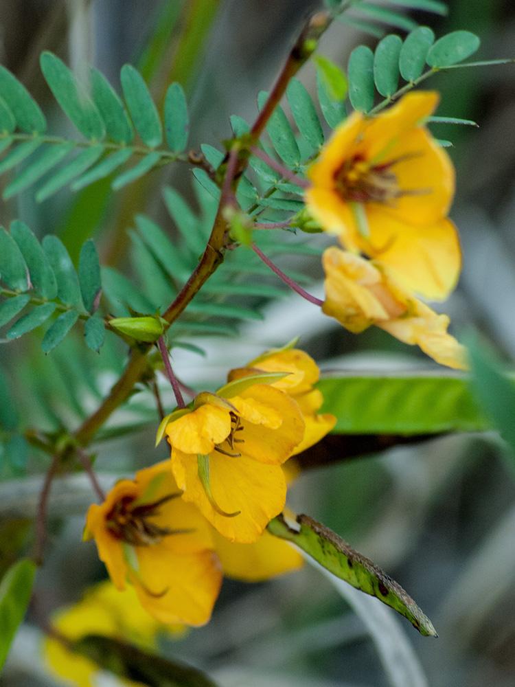 Chamaecrista fasciculata var. fasciculata Will Smith Family
