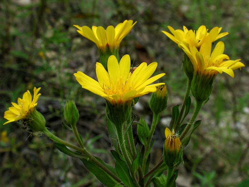 Maryland Golden Aster