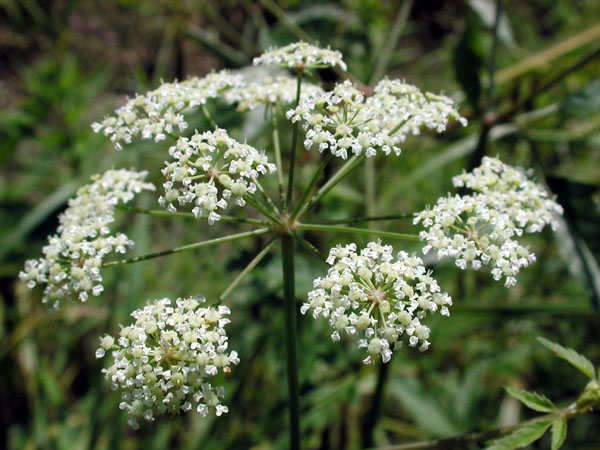 Spotted Water-hemlock