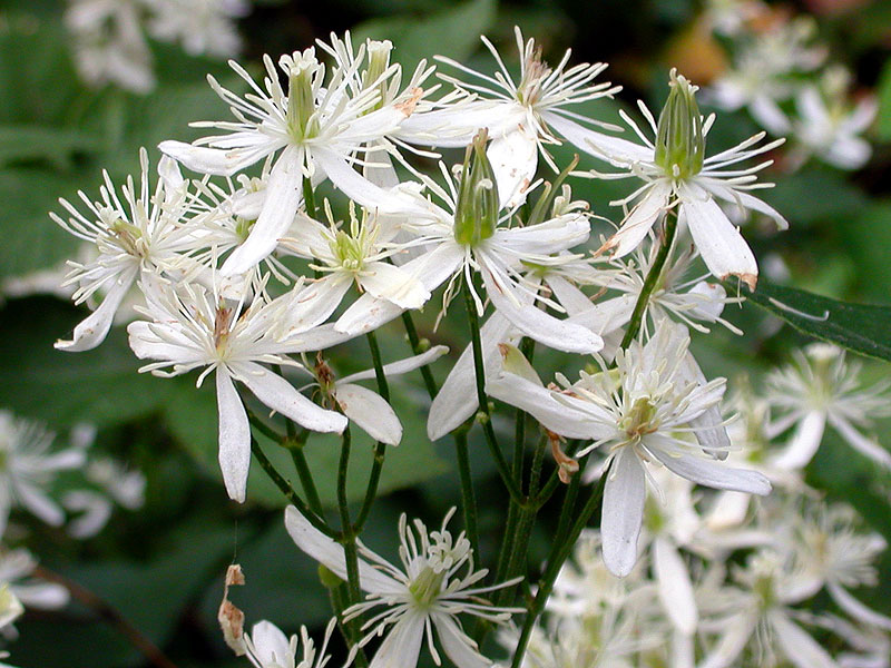 clematis terniflora sweet autumn virginsbower. Black Bedroom Furniture Sets. Home Design Ideas