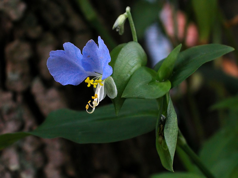 Light-blue Asiatic Dayflower