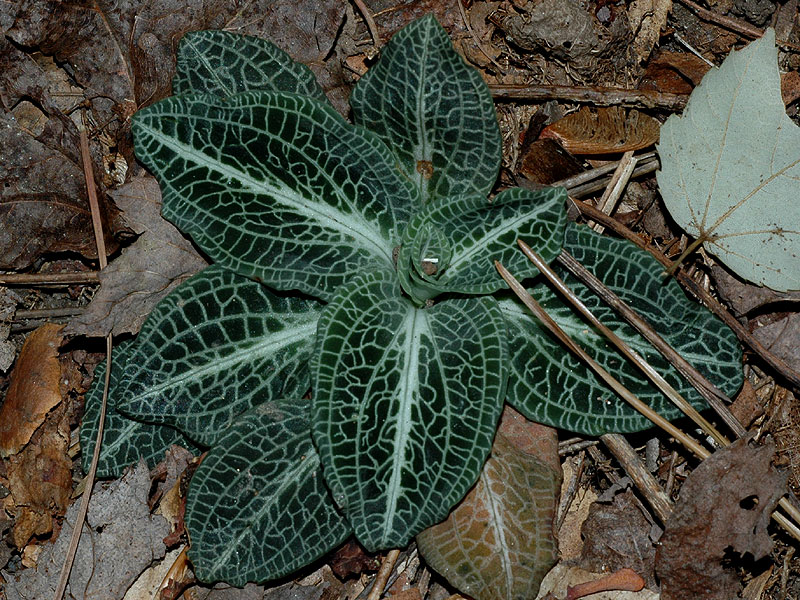 Downy Rattlesnake-plantain