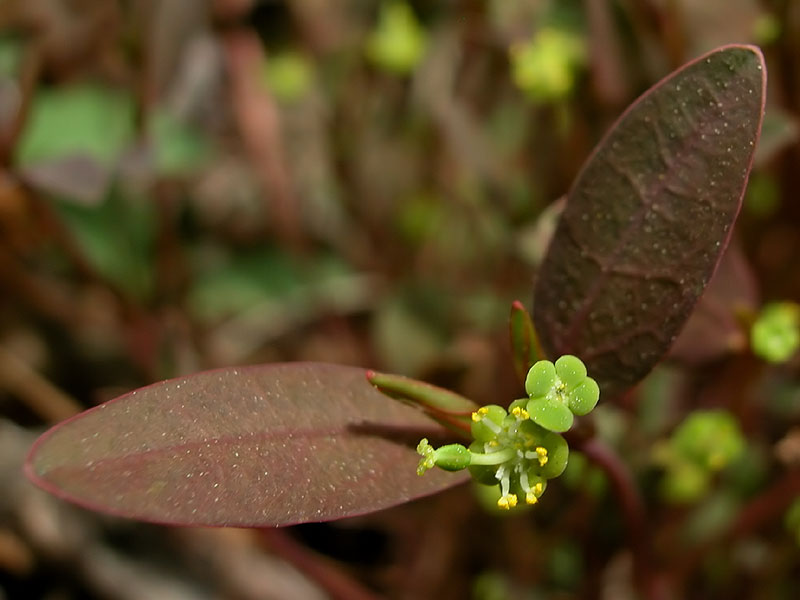 Variable-leaf Spurge