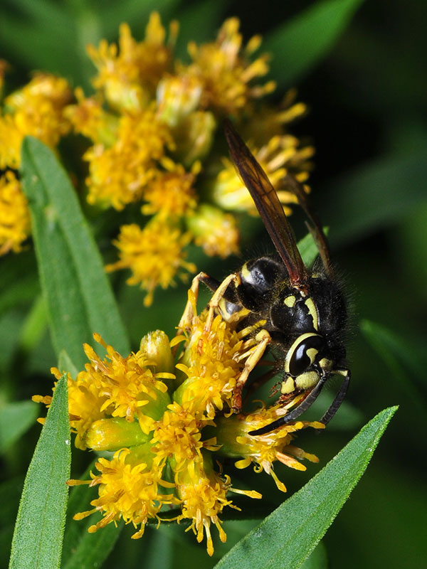 Wasp on <a href=plant.php?id=0843><i>Euthamia graminifolia</i></a><br>September 2014