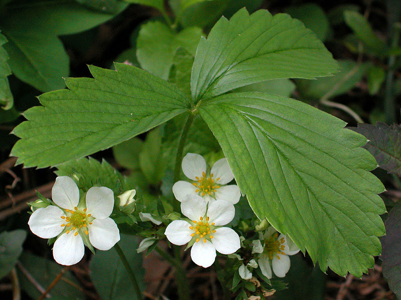 Fragaria virginiana