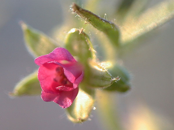 Small-flower Crane's-bill