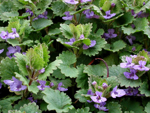 Ground-ivy