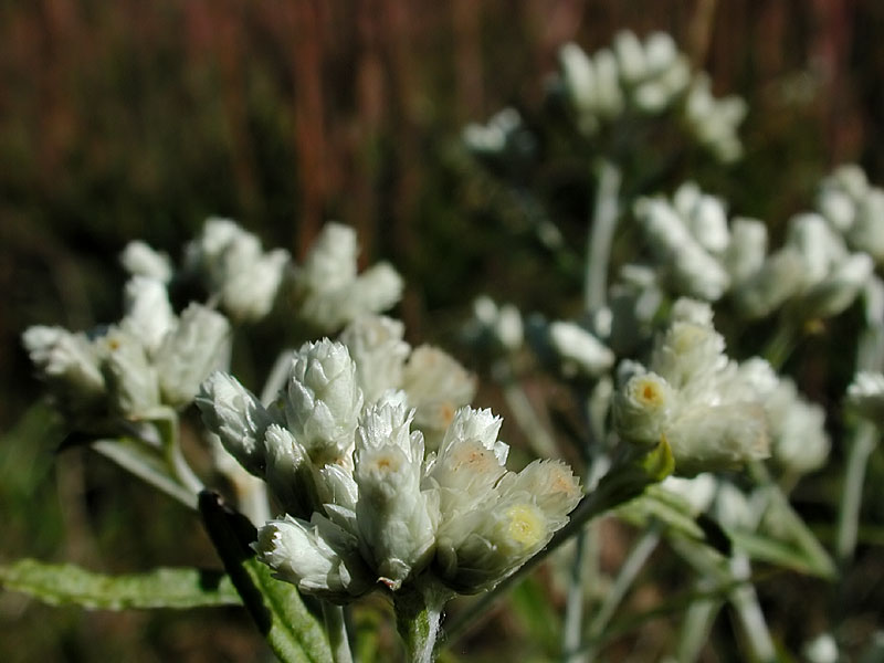 Fragrant Cudweed