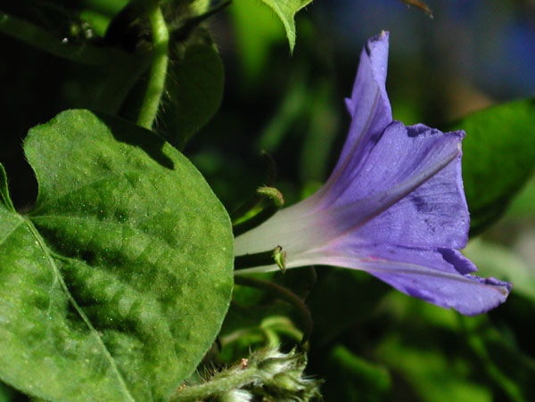 Ivy-leaf Morning-glory