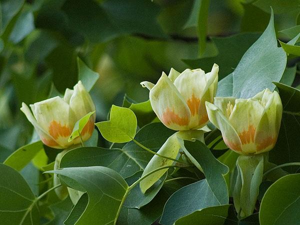 Liriodendron Tulipifera Flower Liriodendron tulipifera