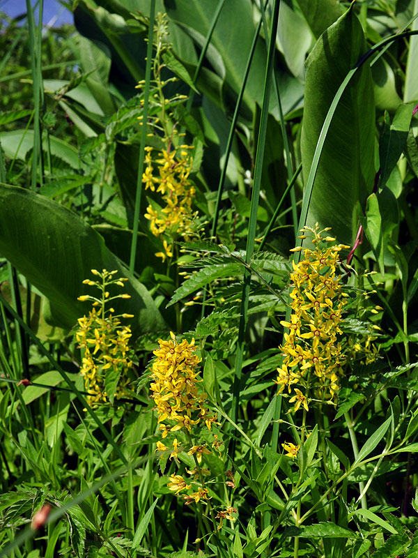 Swamp Loosestrife