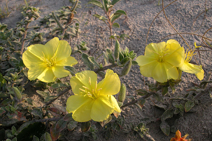 Sea-beach Evening-primrose