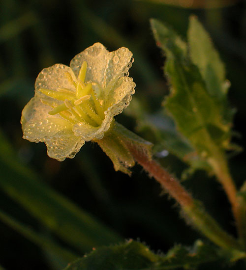 Cutleaf Evening-primrose