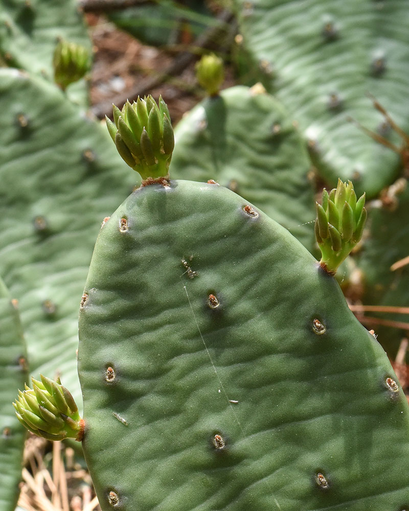 Eastern Prickly-pear Cactus