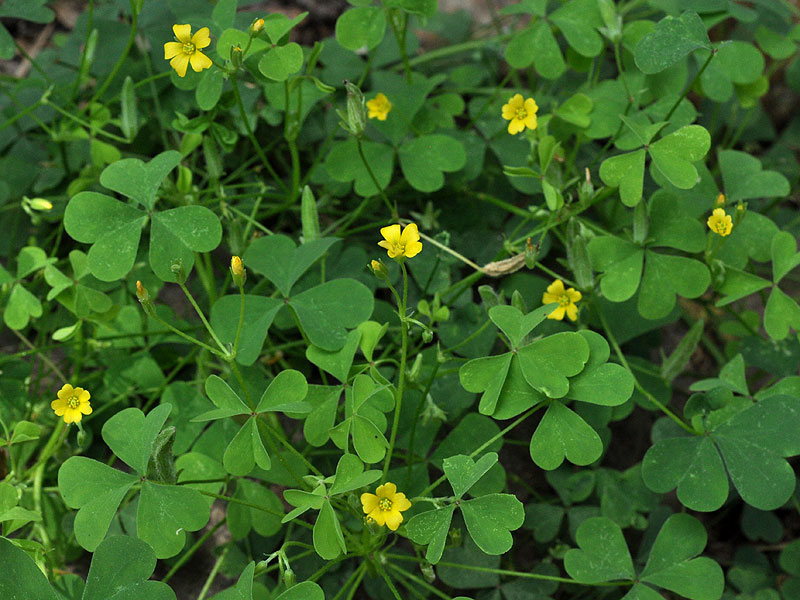 Southern Yellow Woodsorrel