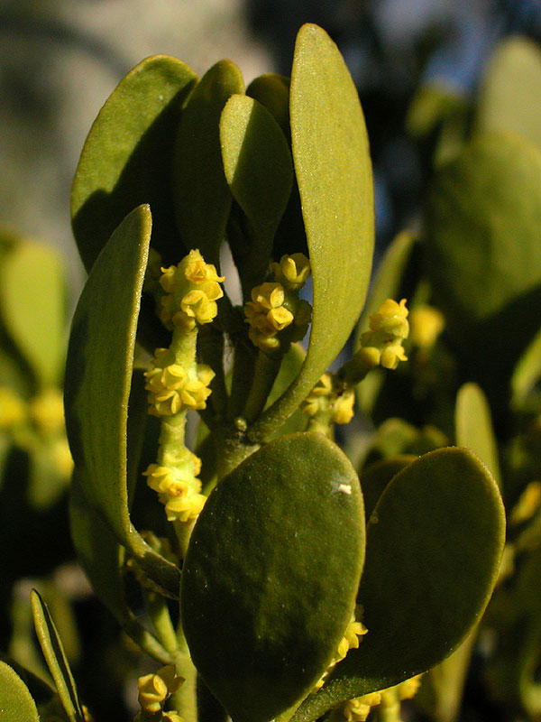 Phoradendron serotinum subsp. serotinum