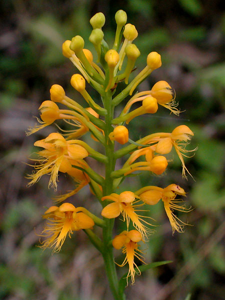 Yellow-crested Orchis