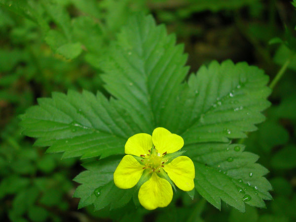 Simple Cinquefoil