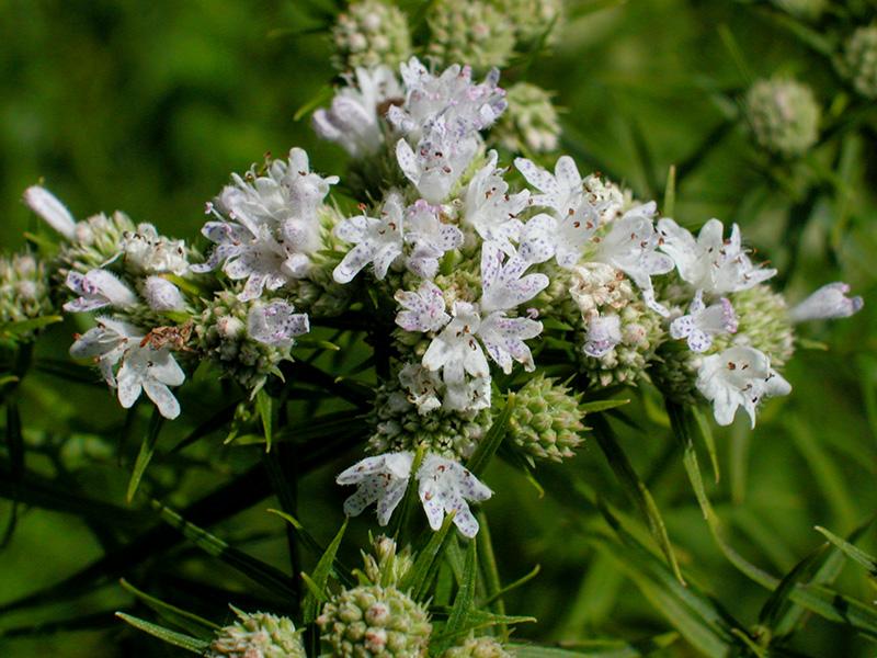 http://www.delawarewildflowers.org/images/pycnanthemum_tenuifolium.jpg