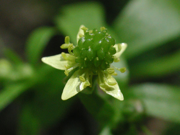 Kidneyleaf Buttercup
