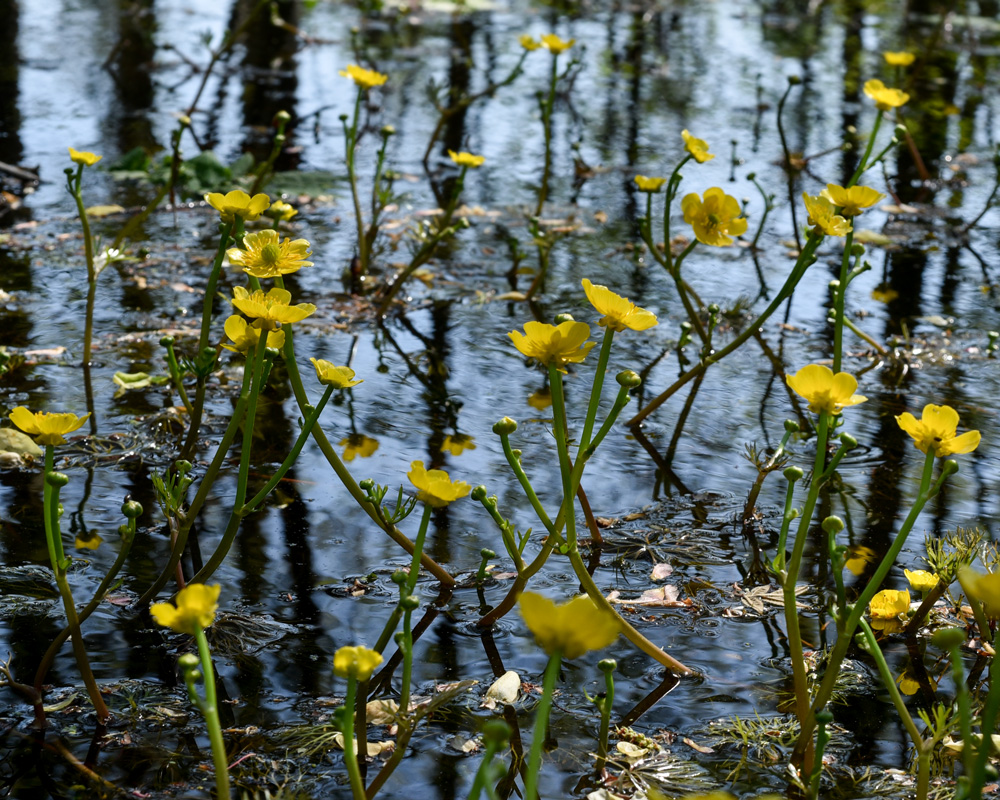 Yellow Water-crowfoot