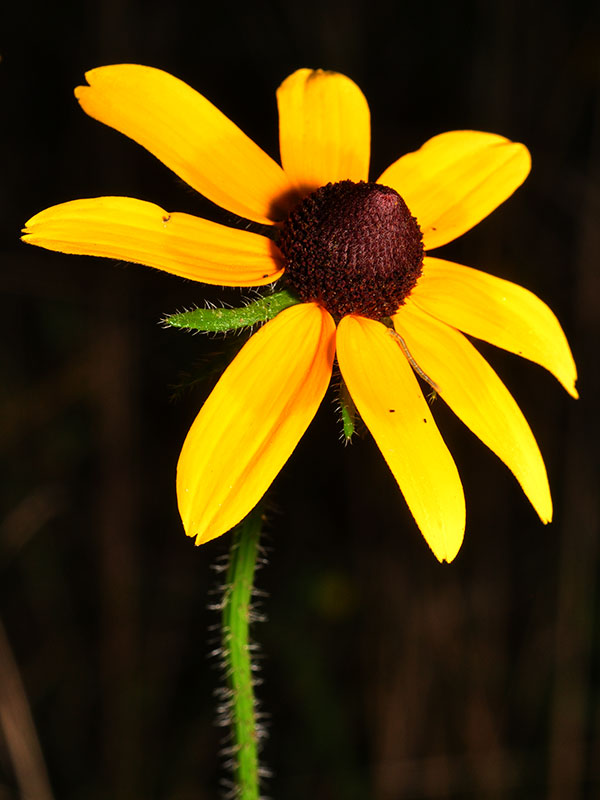 Black-eyed-susan