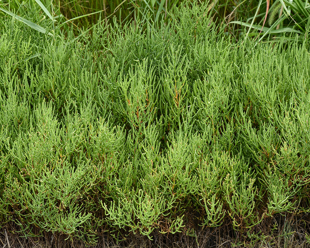Glasswort