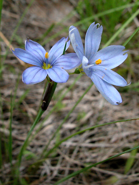 Michaux's Blue-eyed-grass