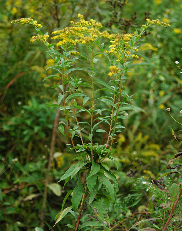 Smooth Goldenrod