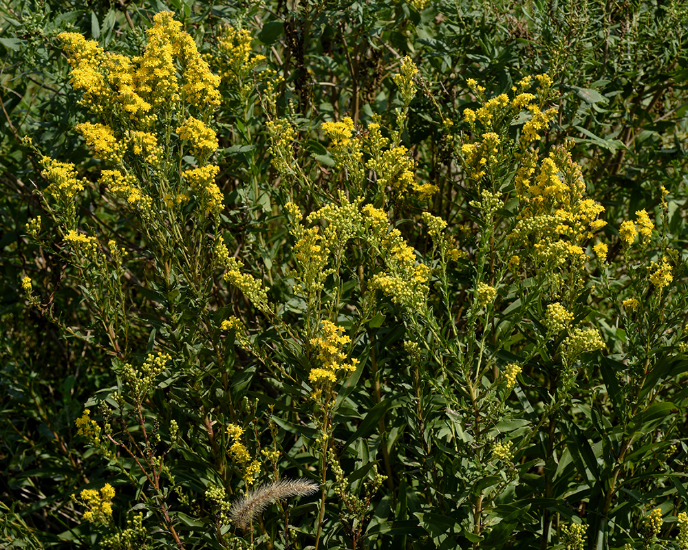 <i>Solidago mexicana</i>