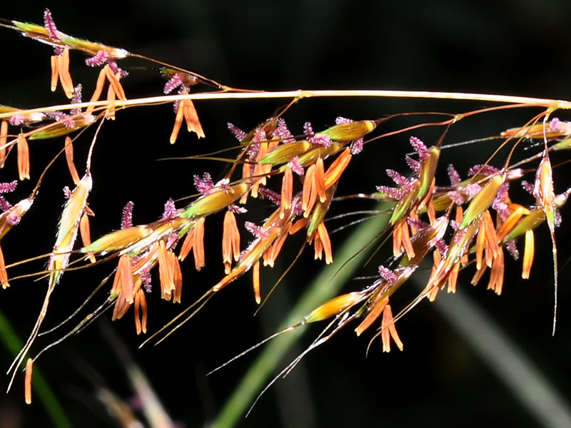 Yellow Indian-grass