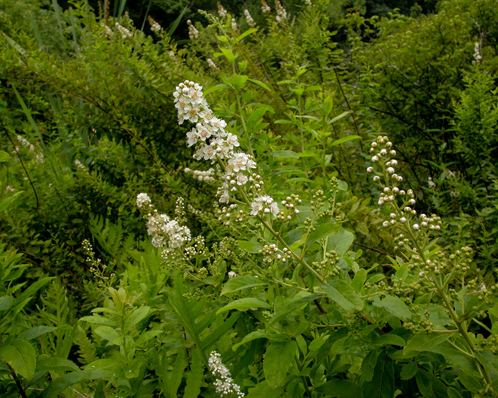 Broad-leaf White Spiraea