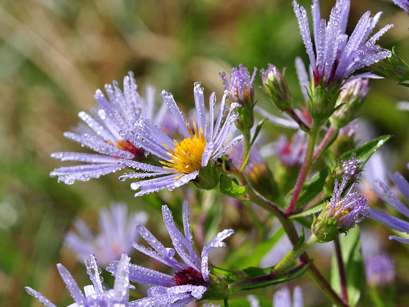 Bristly Aster