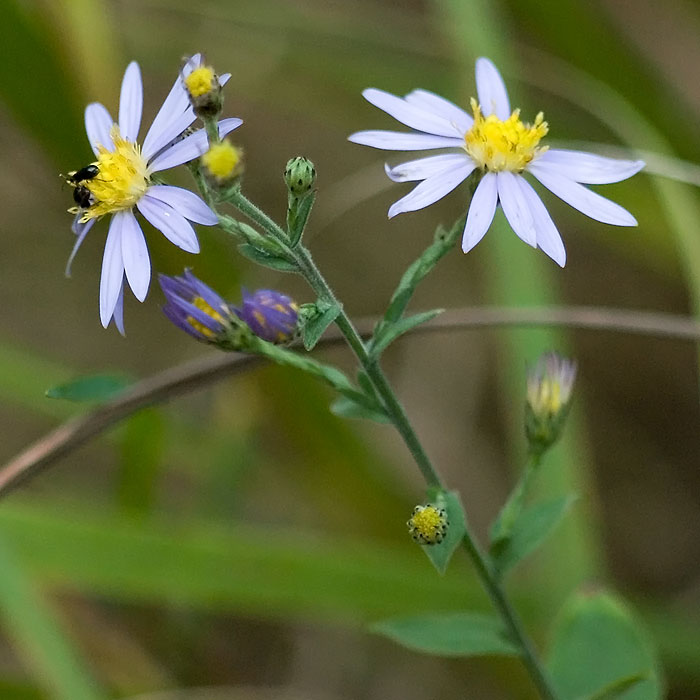 Clasping Heart-leaved Aster