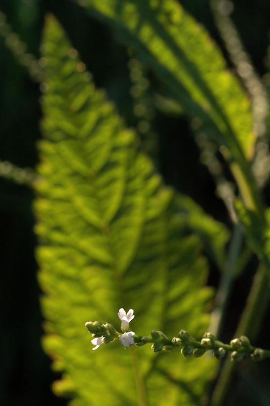 Verbena urticifolia var. urticifolia