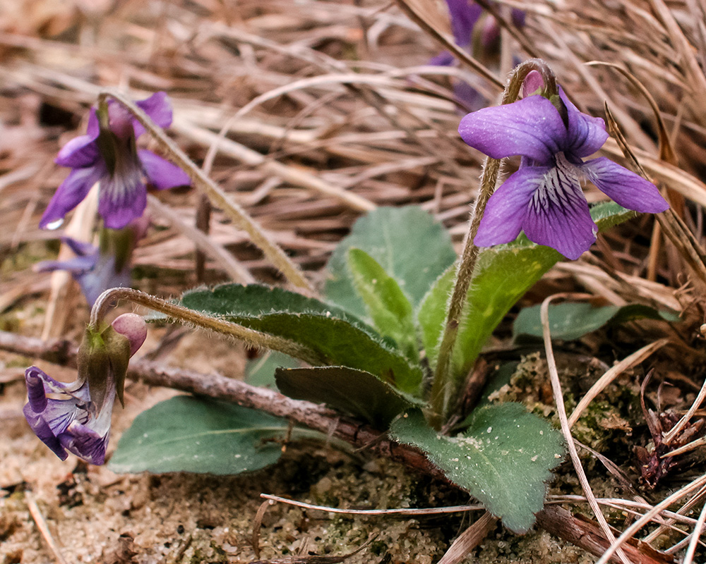 Blue Fringed Violet
